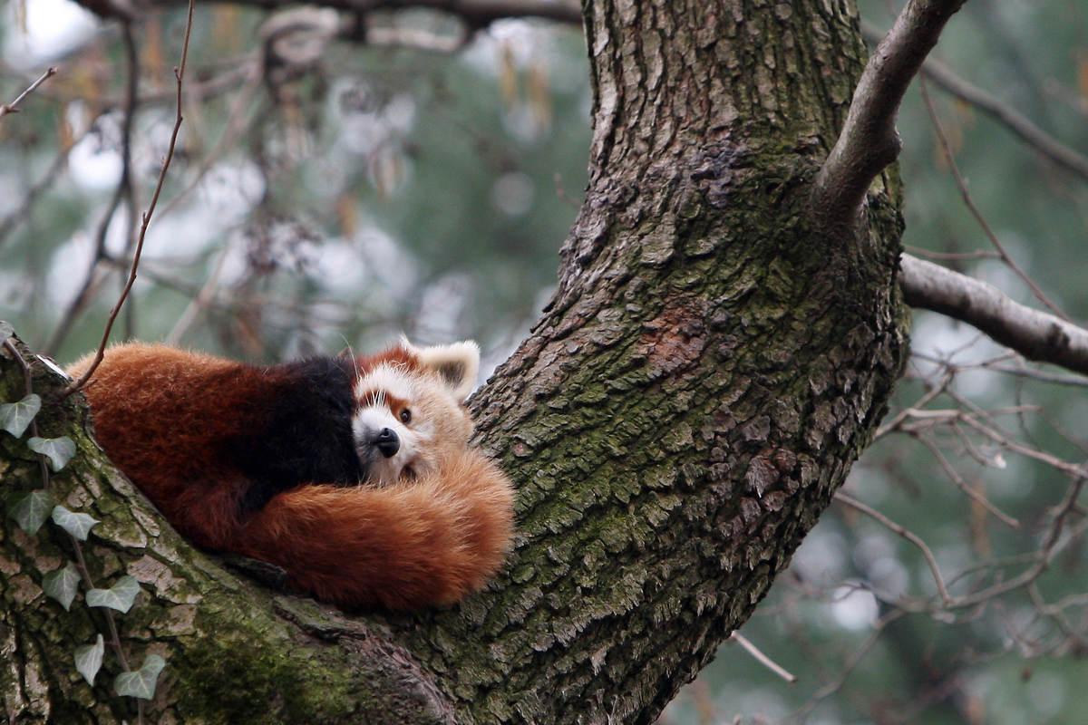 panda_0065